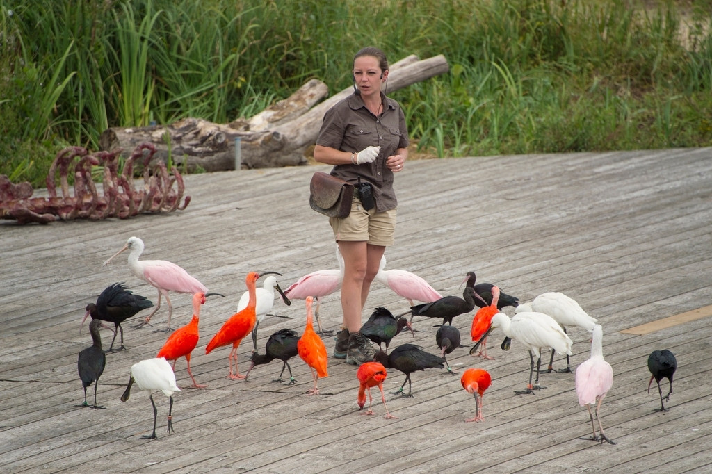 Photo: A staff member is surrounded by spoonbills, scarlet ibises, and other birds at Le Parc des Oiseaux, a bird park in the town of Villars Les Dombes, France.