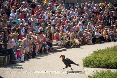 Photo: A vulnerable Southern ground hornbill, Bucorvus leadbeateri, entertains a crowd at Le Parc des Oiseaux, a bird park in the town of Villars Les Dombes, France.