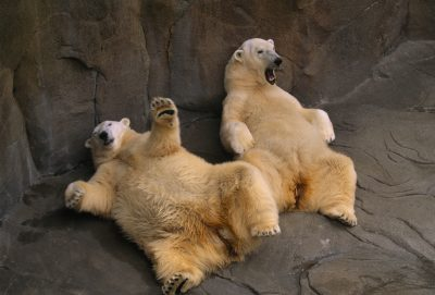 Photo: Two lounging polar bears (Ursus maritimus) at Omaha's Henry Doorly Zoo and Aquarium.