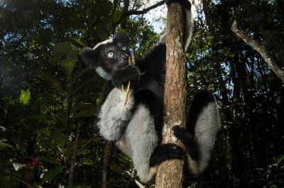 A female Indri (Indri indri), the worlds largest lemur, in the wilds of Analamazaotra Forest near Andasibe, Madagascar.