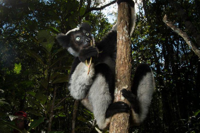 A female Indri (Indri indri), the worlds largest lemur, in the wilds of Analamazaotra Forest near Andasibe, Madagascar.