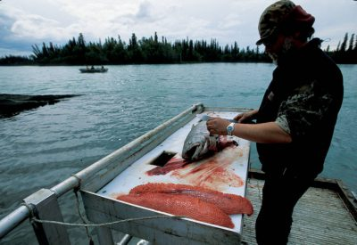 Photo: Russ Knight prepares the large king salmon caught earlier in the day on the Lower Kenai River in Alaska.