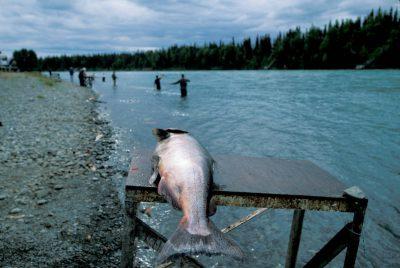 Photo: King salmon caught on the Kenai River in Alaska.