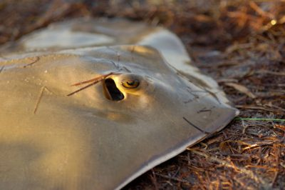 Photo: A stingray caught by fisherman in Florida Bay near Flamingo in Everglades National Park, Florida.