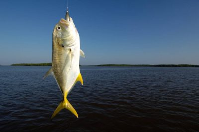 Photo: A fisherman's catch, a Jack Cravelle fish, in the 10,000 Islands area of Everglades National Park, Florida near Naples.