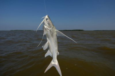 Photo: A fisherman's catch, a gaff topsail, in the 10,000 Islands area of Everglades National Park, Florida near Naples.
