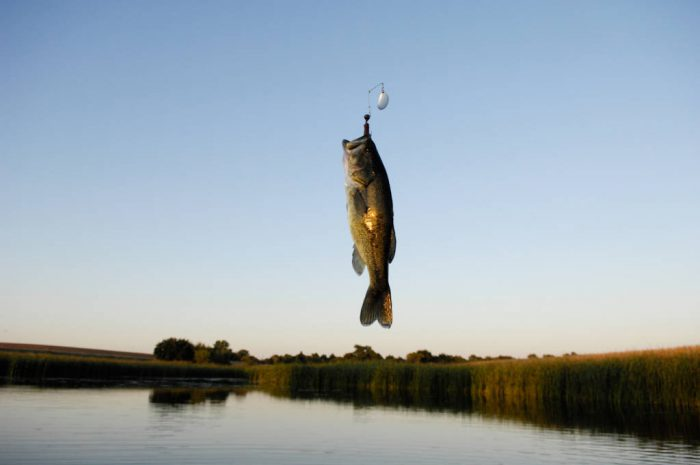 Photo: A fish is suspended in the air during a fishing trip to Snyder pond near Bennet, Nebraska.