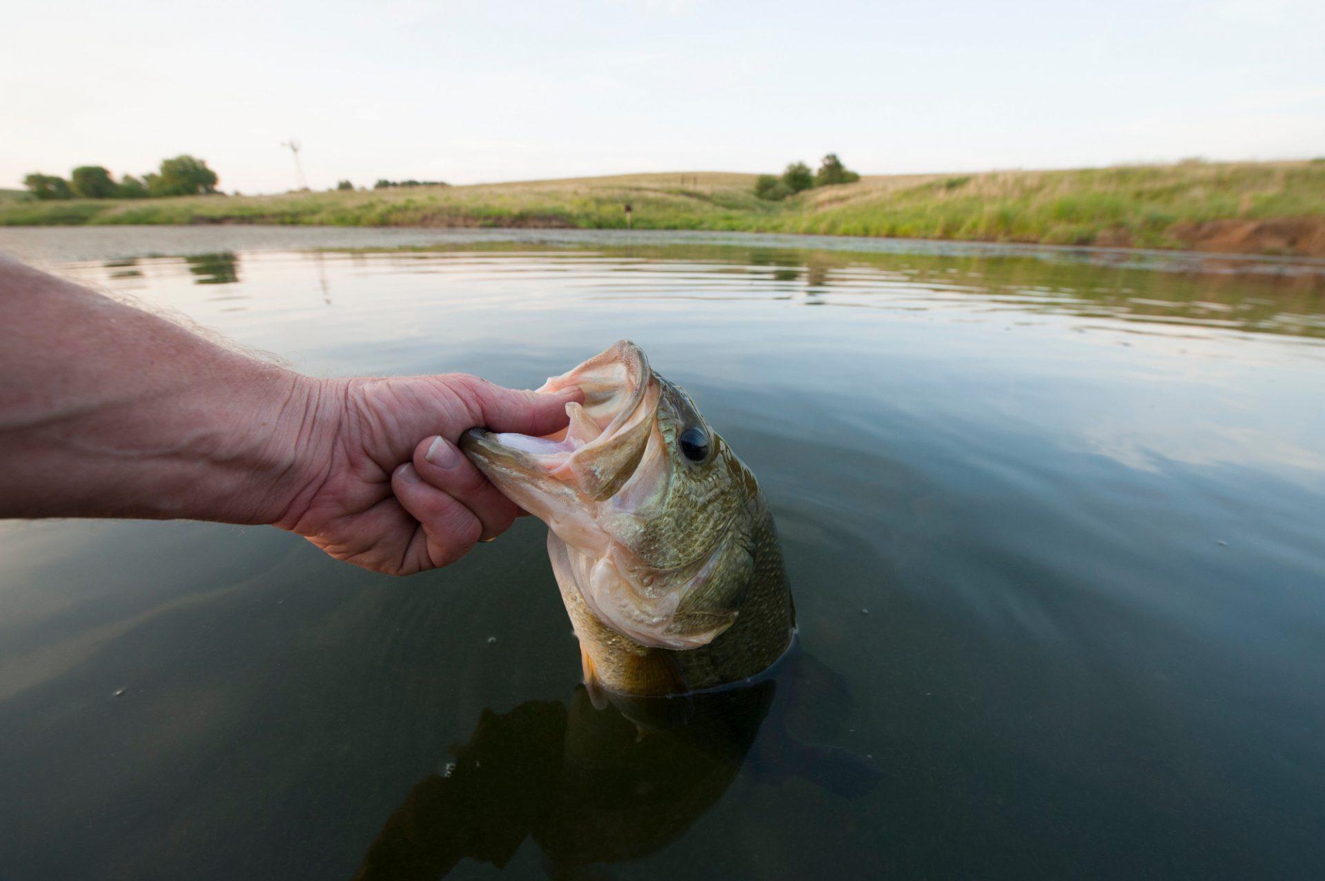 Photo: A man releases a large mouth bass into a farm pond near, Valparaiso, Nebraska.