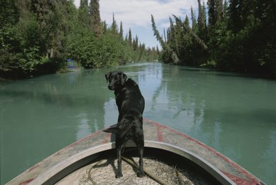 Photo: A black labrador dog travels up the Kenai River on a boat's bow.