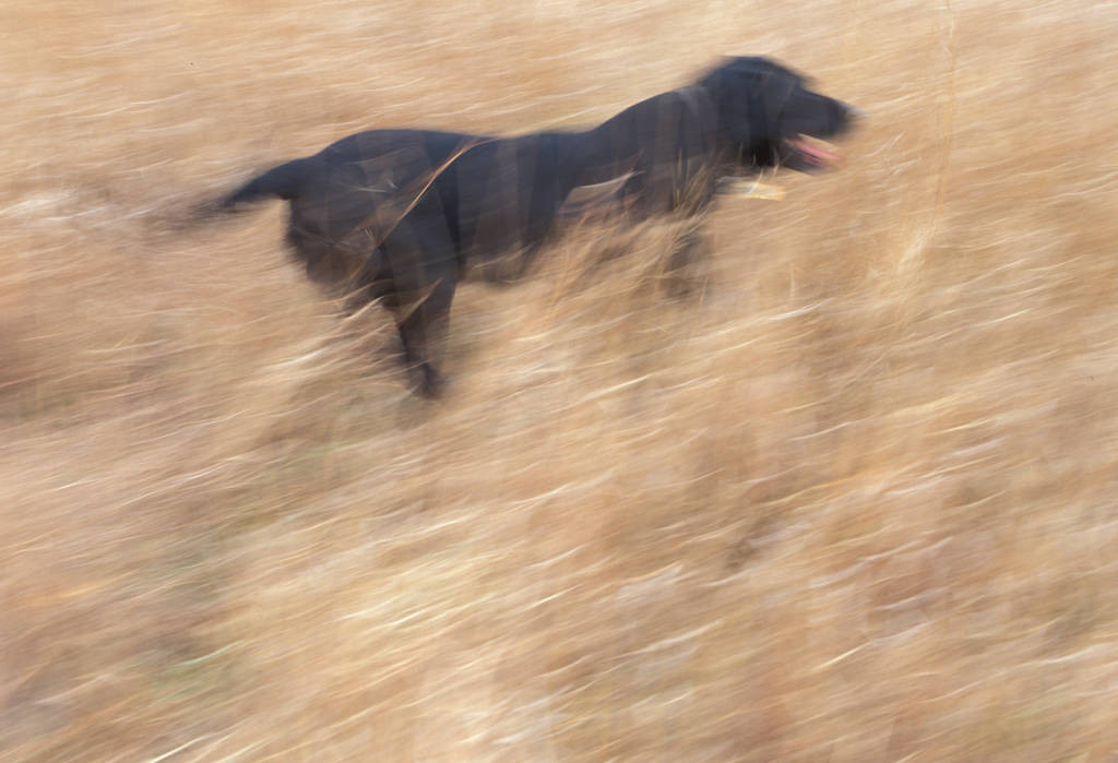 Photo: A dog participates in an organized pheasant hunt in Broken Bow, Nebraska.