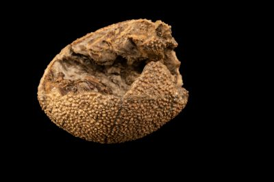 Photo: A fossilized egg of a therapod dinosaur, at the Auburn University Natural History Museum.