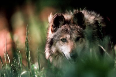 Photo: Mexican gray wolf (endangered) at the Wild Canid Center in St. Louis, MO