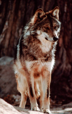 Photo: Mexican gray wolf at the Rio Grande zoo in Albuquerque, NM.