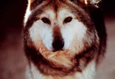 Photo: Mexican gray wolf at the Rio Grande Zoo in Albuquerque NM.