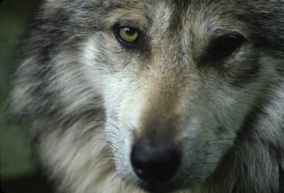 Photo: Mexican gray wolf at the Wild Canid Research Center near St. Louis, MO.