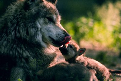 Photo: Mexican gray wolf and pup at the Wild Canid Research Center near St. Louis, MO.