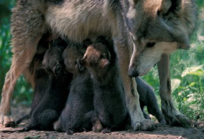 Photo: Mexican gray wolf nursing pups at the Wild Canid Research Center near St. Louis, MO.