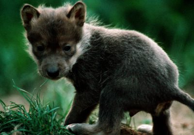 Photo: Mexican gray wolf pup at the Wild Canid Research Center near St. Louis, MO.