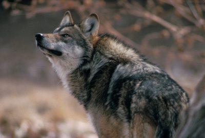 Photo: Mexican gray wolf at a captive breeding facility at the Rio Grande Zoo in Albuquerque, NM.