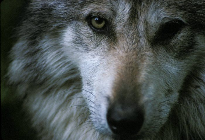 Photo: Mexican gray wolf at the Wild Canid Center's captive breeding facility in Missouri.