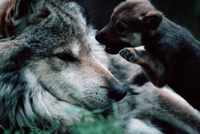 Photo: Meixan gray wolf (endangered) and pup in a captive breeding program at the Wild Canid Center near St. Louis, Missouri.