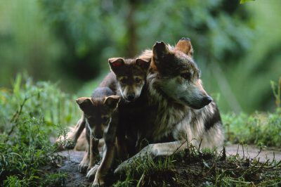 Photo: Meixan gray wolf (endangered) and pup in a captive breeding program at the Sedgewick County Zoo in Wichita, KS.