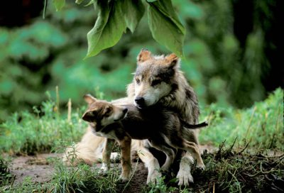 Photo: Mexican gray wolf and pups at the Sedgwick County Zoo in Wichita, KS.
