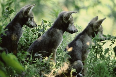 Photo: Mexican gray wolf pups at the Sedgwick County Zoo in Wichita, KS.
