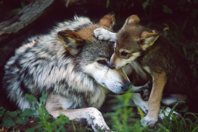 Photo: Mexican gray wolf (endangered) and pup in a captive breeding program at the Sedgewick County Zoo in Wichita, KS.