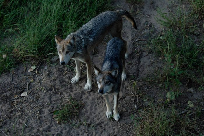 Photo: Endangered Mexican gray wolves (Canis lupis baylei) at the Sedgwick County Zoo.
