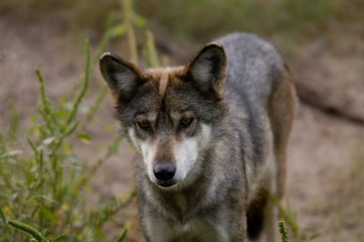 A federally endangered Mexican gray wolf (Canis lupus baileyi) at the Sedgwick County Zoo.