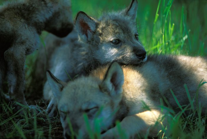 Photo: Mexican gray wolf pups at the Wild Canid Research Center near St. Louis, MO.