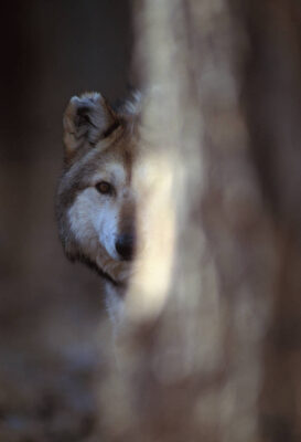 Photo: Mexican gray wolves at the Rio Grande Zoo in Albuquerque, New Mexico.