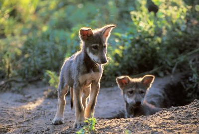 Photo: Mexican gray wolf pups at Wichita's Sedgwick County Zoo. The Mexican gray wolf is thought to be extinct in the wild and numbers only about 148 in captivity, making it one of the Earths rarest mammals.
