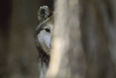 A captive federally endangered Mexican gray wolf (Canis lupus baileyi), the rarest wolf in North America.