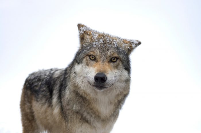 A federally endangered Mexican gray wolf, Canis lupus baileyi.