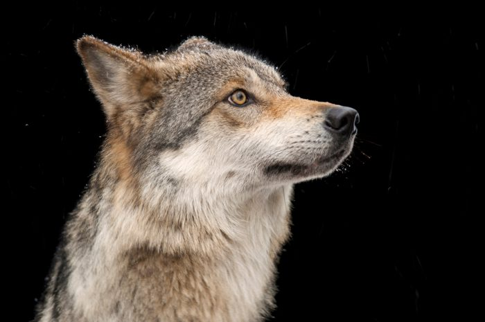 A federally endangered Mexican gray wolf (Canis lupus baileyi) at the Wild Canid Survival and Research Center.