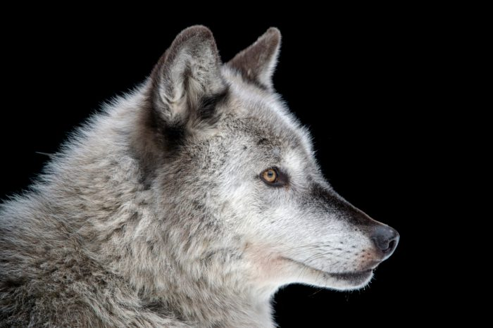 Federally endangered gray wolf (Canis lupus) at the Alaska Zoo.