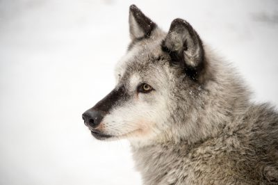 A federally endangered gray wolf (Canis lupus) at the Alaska Zoo.