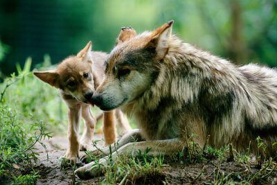 Photo: A Mexican gray wolf pup licks his mother's nose at the Sedgwick County Zoo in Wichita, KS.