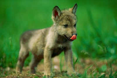 A federally endangered captive gray wolf, Canis lupus, licks his nose.