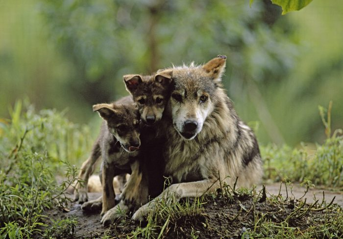 Photo: Two captive bred Mexican gray wolves (Canis lupus baileyi) with their mother at the Sedgwick County Zoo.