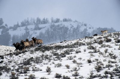Photo: For the first time in decades, wolves again chase elk through the Lamar Valley of Yellowstone.
