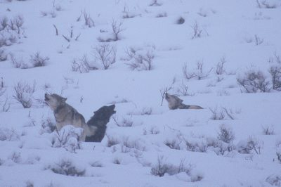 Photo: Wild wolves signal each other by howling in Yellowstone's Lamar Valley.