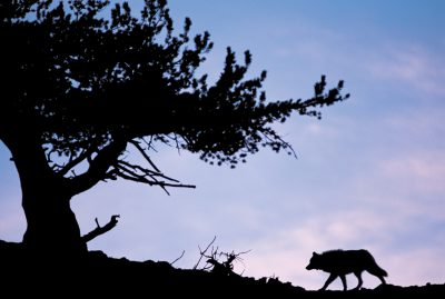 Photo: A wild gray wolf (member of the Druid Peak pack) silhouetted at sunset, in Yellowstone National Park.