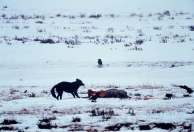 Photo: A wild wolf in Yellowstone feeds on its prey.