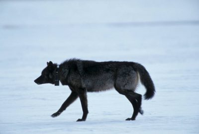 Photo: A wild gray wolf in Yellowstone's Lamar Valley.
