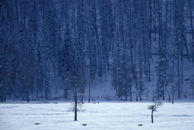Photo: Wild gray wolves (members of the Druid Peak pack) in Yellowstone National Park's Lamar Valley.