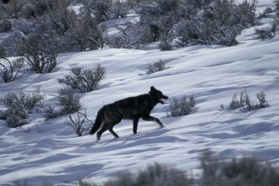 Photo: Wild gray wolf in Yellowstone National Park's Lamar Valley.(Chief Joseph Pack)