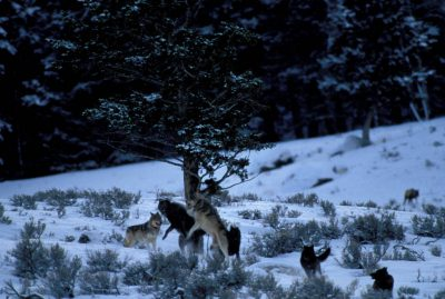 Photo: Members of the Rose Creek Pack in Yellowstone National Park's Lamar Valley
